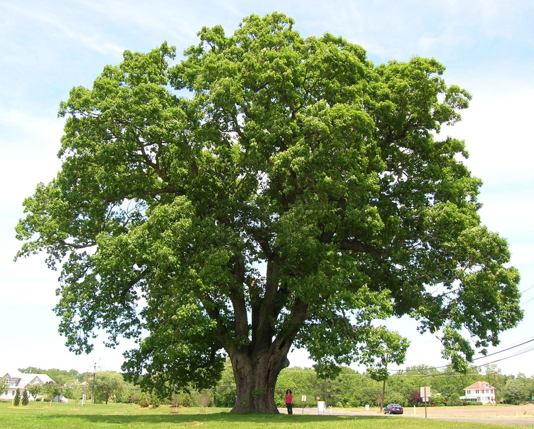 oak-tree-e1421370736874